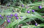 0514紫の実.jpg