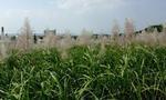 0107サトウキビ畑.jpg